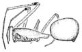 Hetschkia.gracilis.female.png
