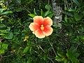 Hibiscus rosa sinensis hybrid-16-hanuman temple-muluvi-yercaud-salem-India.jpg