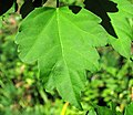 Hibiscus sp. (rose mallow) (Newark, Ohio, USA) 13 (41536755310).jpg
