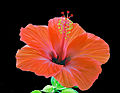 Hibiskusblüte 4.jpg