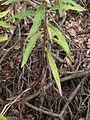 Hieracium laevigatum fulles inf.jpeg