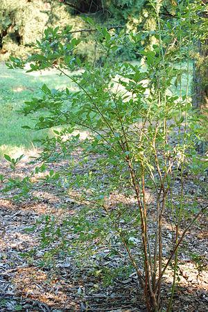 Vaccinium corymbosum - Image: Highbush Blueberry Vaccinium corymbosum Sapling 2000px