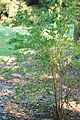 Highbush Blueberry Vaccinium corymbosum Sapling 2000px.jpg