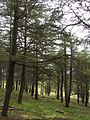 Himalayan Cedar cedrus deodara National Arboretum Canberra.JPG