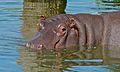 Hippo (Hippopotamus amphibius) (6018390176).jpg