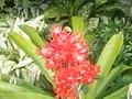 Hohenbergia Stellata Inflorescence ksl.jpg