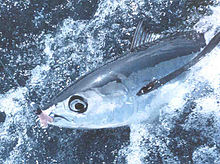 Sex with tuna fish good
