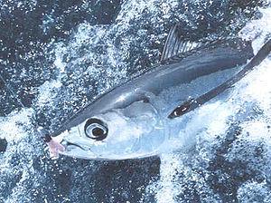 Albacore - Image: Hooked albacore tuna