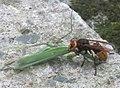 Hornet eating mantis-5.jpg