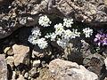 Hornungia alpina001.jpg
