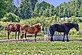 Horse - panoramio - Harri Hedman.jpg