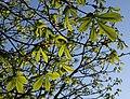 Horse chestnut leaves, Petitor - geograph.org.uk - 753584.jpg