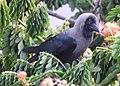 House Crow Corvus splendens by Raju Kasambe DSCN0468 (7) 16.jpg