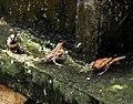 House Sparrow female erythristic best DSCN8903 (4).jpg