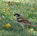House Sparrow on Grass.jpg