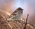 House sparrow (32278825551).jpg
