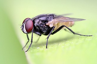 Shallow depth of field Housefly on a leaf crop.jpg