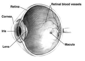 Santa J. Ono - Human eye cross-sectional view. Allergic conjunctivitis involves mast cell-dependent inflammation in the mucosal surface (conjunctiva) of the eye. Macular degeneration results from photoreceptor death in the macula.