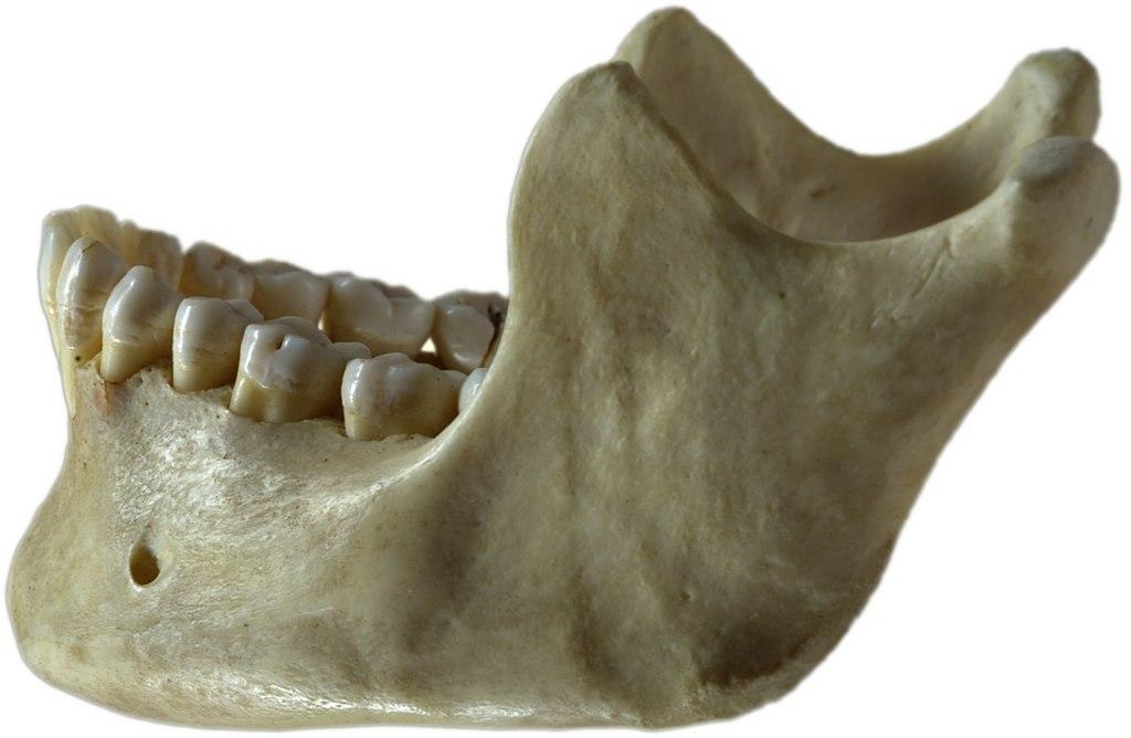 Filehuman Jawbone Leftg Wikimedia Commons