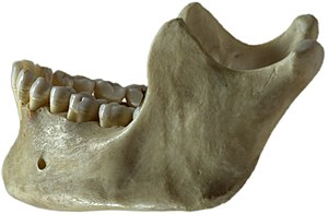 Jaw - Human lower jaw viewed from the left