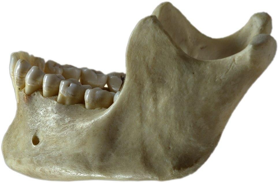 Human jawbone left
