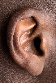 Human right ear (cropped).jpg
