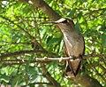 Hummingbird in lilac.jpg