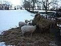 Hungry sheep - geograph.org.uk - 1659098.jpg