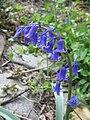 Hyacinthoides ×massartiana02.jpg