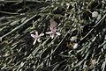 Hyalis argentea flowers.jpg