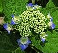 Hydrangea macrophylla Ashikaga Japon.jpg