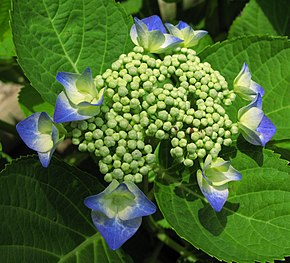 Description de l'image  Fichier:Hydrangea_macrophylla_Ashikaga_Japon.jpg.