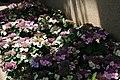 Hydrangea macrophylla Tokyo Delight 10zz.jpg