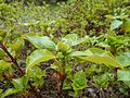 Hydrangea petiolaris 2017-04-30 8916.jpg