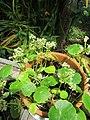 Hydrocotyle umbellata L. (AM AK359829-3).jpg