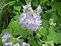 Hydrophyllum appendiculatum.jpg
