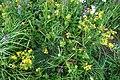 Hypericum perforatum L. familija (Hypericaceae) 08.jpg