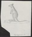 Hypsiprymnus murinus - 1700-1880 - Print - Iconographia Zoologica - Special Collections University of Amsterdam - UBA01 IZ20300031.tif