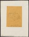 Hyrax dorsalis - 1700-1880 - Print - Iconographia Zoologica - Special Collections University of Amsterdam - UBA01 IZ22000333.tif