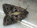 Hyssia cavernosa - Совка выемчатая (41066374271).jpg