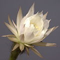 IMG 5200-Echinopsis ancistrophora.jpg