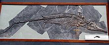 Skeleton of an icthyosaur in side view