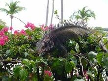 File:Iguana.ogv
