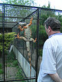 Iguana iguana climbing in ZOO Chleby.JPG