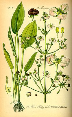 Common frog spoon (Alisma plantago-aquatica), illustration