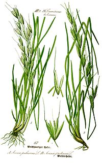 Illustration Avenula pubescens0 clean.jpg