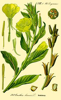Illustration Oenothera biennis0.jpg
