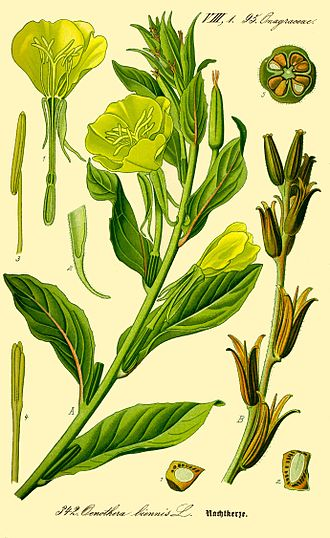 Oenothera biennis - Illustration of Oenothera biennis