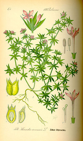 Illustration Sherardia arvensis0.jpg