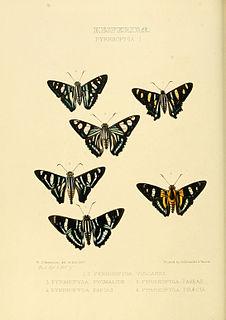 <i>Elbella</i> genus of insects